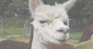 alpacas in kent