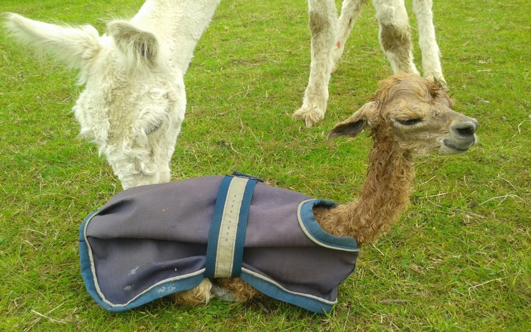 Alpaca babies not sticking to the rules