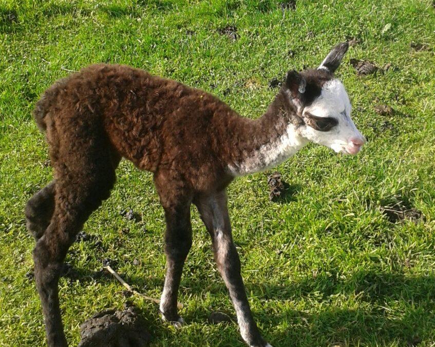 Pretty baby Alpaca