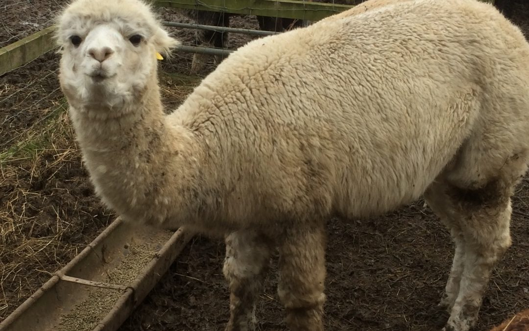 Alpaca pregnant with twins