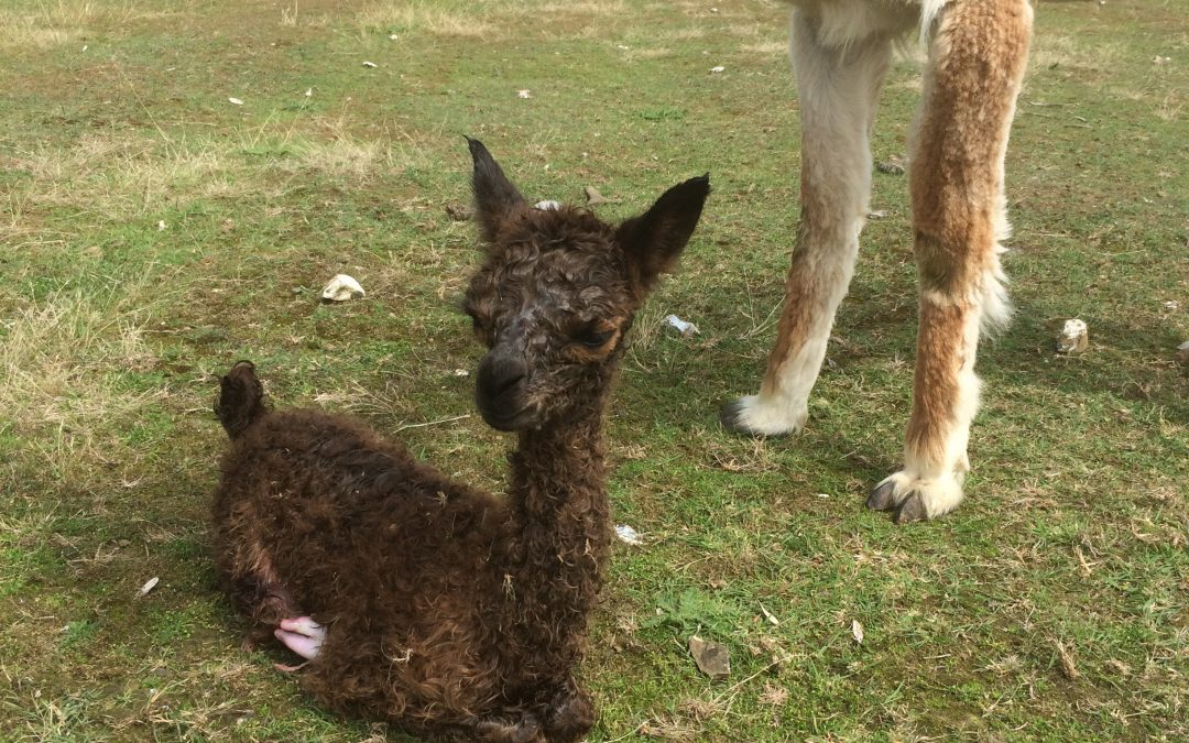 Newest Alpaca baby